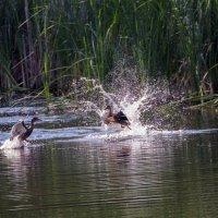 танцы на воде...... :: Александр Малышев