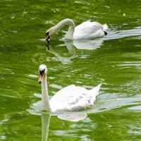 Два лебедя :: Алексей Борисов