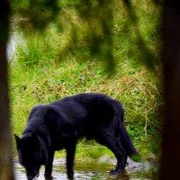 Собака пьёт из речки. :: Виталий Дарханов