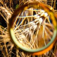 Пшеница :: Александр Якуба