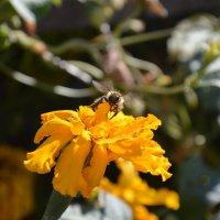 Полет пчелы :: Дарья Селянкина
