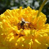 Пчелка :: Дарья Селянкина