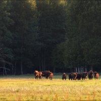 Белорусские зубры :: Влад Соколовский