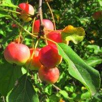 Вот и яблочки поспели ! :: Мила Бовкун
