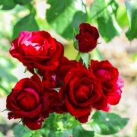 Алые розы :: Кристина Шестакова