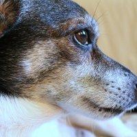 Маленькая,добрая,комнатная собака :: Сергей Черник