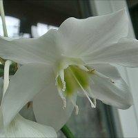 Эухариса свежайший аромат над душной комнатой повис... :: Нина Корешкова