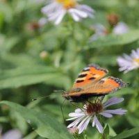бабочка :: Ирина Рыкина