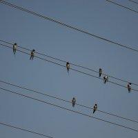 Птицы как ноты :: Оксана Калинина