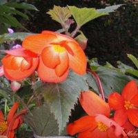 Цветы бегонии. :: Елена (Melena505) Моисеева
