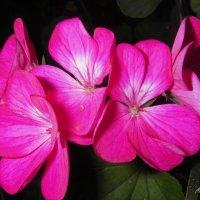 Цветы Герани. :: Елена (Melena505) Моисеева