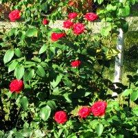 Июль,в саду куст красной розы... :: Тамара (st.tamara)