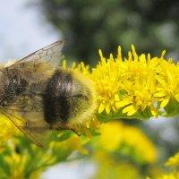 Необычный пчел ! :: Мила Бовкун