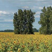 подСолнечное поле #4 :: Виктор Четошников