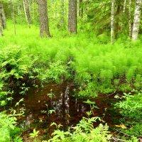 На болоте и в лесу...... :: Елена Швецова