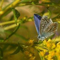 бабочка :: Светлана