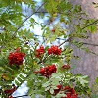 Яркие ягоды :: Aнна Зарубина