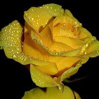 Роза печали:) :: анна нестерова