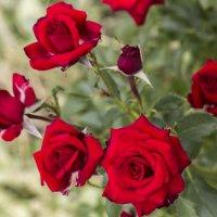 букет роз :: Лариса Батурова
