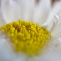Желтое и белое :: Михаил Павстюк