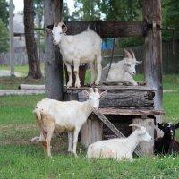 Смешные козы :: Елена