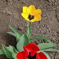 Расцвели тюльпанчики - жёлтые и красные стаканчики... :: Нина Корешкова