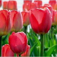 тюльпаны :: Татьяна Осипова(Deni2048)