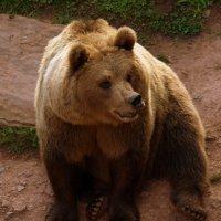Бурый Медведь :: Georg Förderer