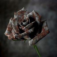 Ржавая роза :: Nn semonov_nn