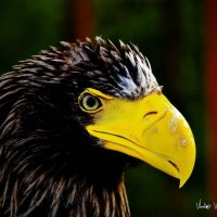 гордая птица :: Владимир Родин