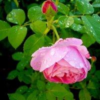 Дождь и роза.... :: Лия ☼