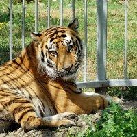 Тигр :: Виктор Четошников