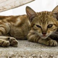 Тихий час!-из серии Кошки очарование мое! :: Shmual Hava Retro