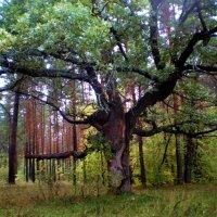 Дуб в лесу :: Татьяна Пальчикова