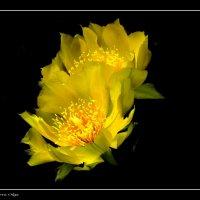 Цветок кактуса :: Ольга Голубева