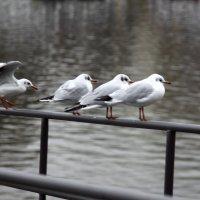Чайки. :: Юлия Ваганова