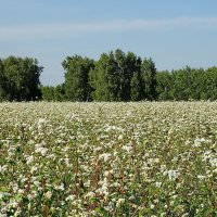 Виды на урожай 2014. Гречиха #2 :: Виктор Четошников