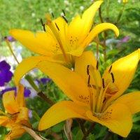 Ярко желтые лилии :: Ксения Масленникова