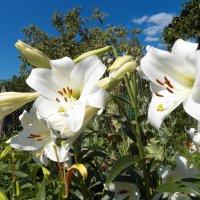 Цветы моего сада. :: Виктор Елисеев