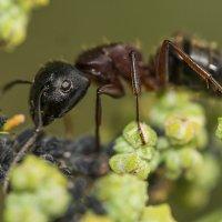 О муравьях..4 :: Соня Орешковая (Евгения Муравская)