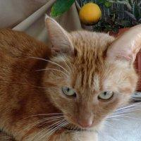 Рыжий кот :: bemam *