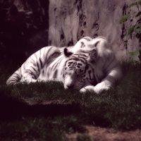 Сон про белого тигра :: Алексей Казаков