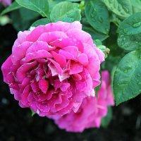 Розы в моем саду :: Елена Олейникова