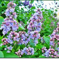 Нежная весна :: Лидия (naum.lidiya)