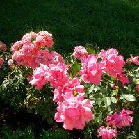 Розы :: Виктор Елисеев