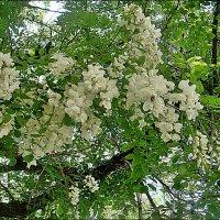 Запах цветущих акаций ветер, как шлейф, развевает… :: Нина Корешкова
