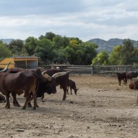буйволы :: Ирина Корнеева