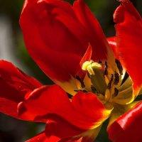 В сердце красного тюльпана :: Евгений Лимонтов
