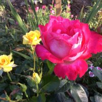 Роза :: Мария Крылова