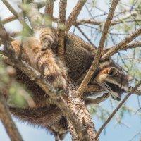 Енот на вершине дерева :: Дмитрий Сушкин